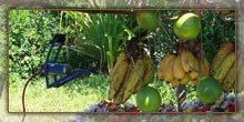 Des fruits exotiques (Voankazo)
