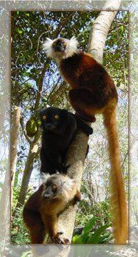 Les lémuriens, les stars du tourisme à Madagascar