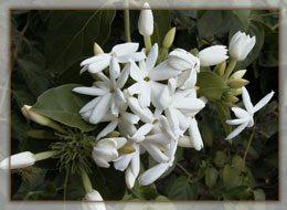Catharanthus-Roseus1g
