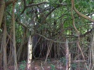 Le Banian, un arbre sacré