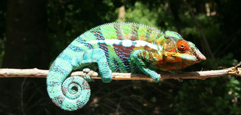 Les caméléons de Madagascar