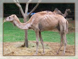 Des chameaux à Tsimbazaza