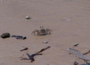 Petit Crabe de Madagascar