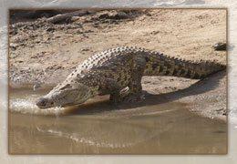 Un crocodile de Madagascar