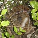 lemurien avahis