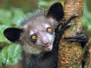 lemurien aye aye