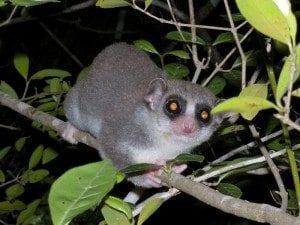 lemurien cheirogaleus