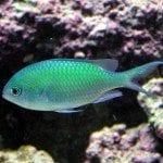 Chromis bleu-vert