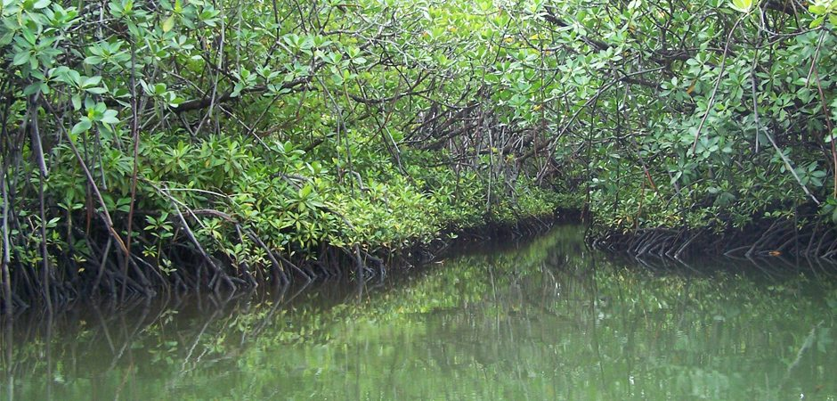 La flore des mangroves