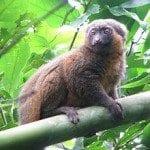 lemurien hapalemur