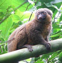 lemurine hapalemur
