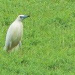 heron crabier blanc
