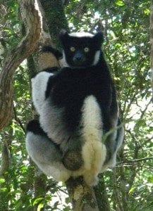 lemurien indri
