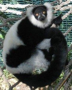 lemur varecia