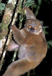 lemurien lepilemur