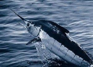 Marlin Bleu