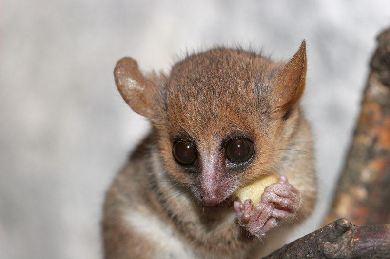 lemurien microcebus