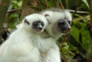 lemurien propitheque