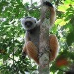lemurien propitheque de diadema