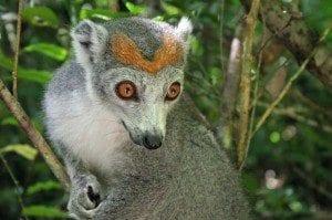 lemurien propitheque de tattersall