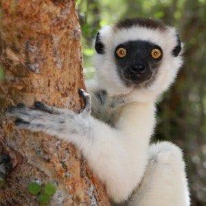 lemurien propitheque de verreaux