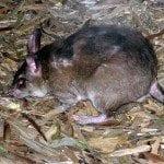 Rat sauteur