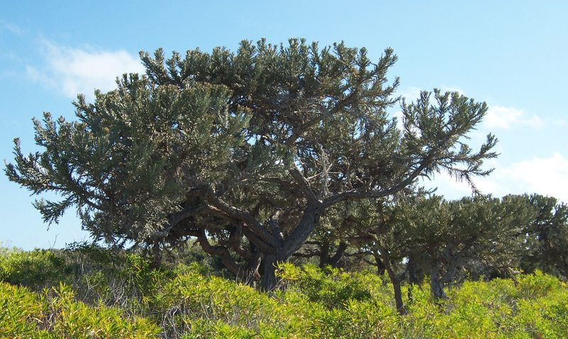Euphorbia Stenoclada