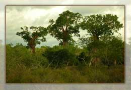 La forêt sèche des Mikea