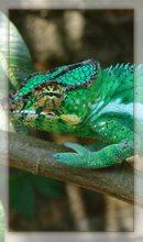 Caméleon de Madagascar