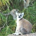lemur-catta1g