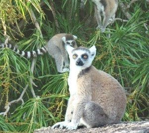 Lemur Catta de la réserve de Bezaha-Mahafaly