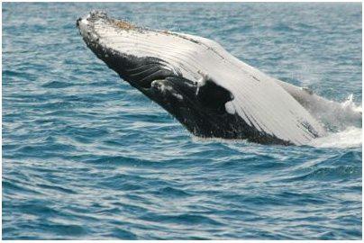 Baleine, qui fait partie des cétacés