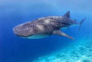 Requin baleine