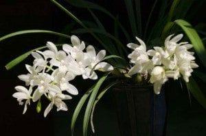 Des orchidées Blanches