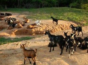 L'Ouest, une région d'élevage des chèvres
