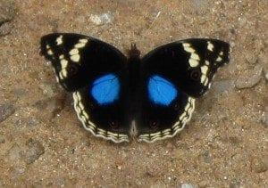papillon1g