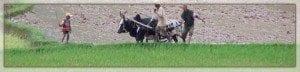 La riziculture Malagasy