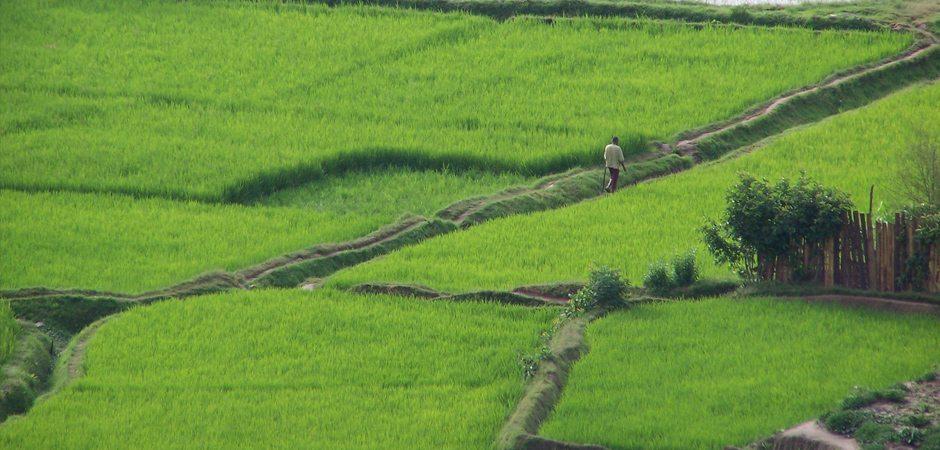 La riziculture Malgache