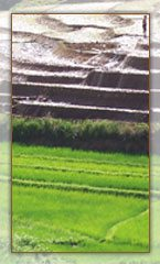 Rizière Malagasy