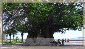Le vieux baobab, emblême de Mahajanga
