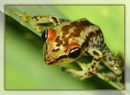 Mantella Madagascariensis
