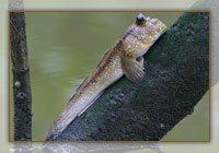Le périophthalme, un poisson qui grimpe aux arbes