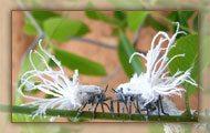 Phromnia Rosea