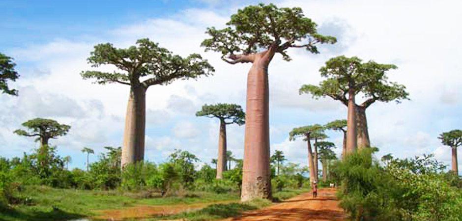 La célèbre Allée des Baobabs