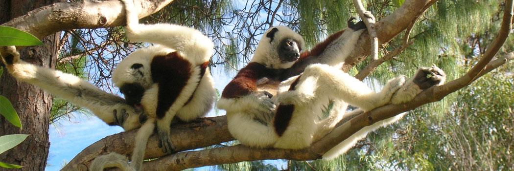 slide-madagascar-lemuriens