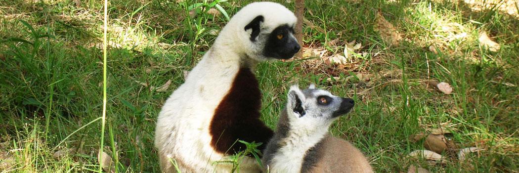 slide-madagascar-lemuriens1